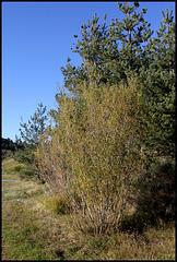 Salix purpurea  (2)