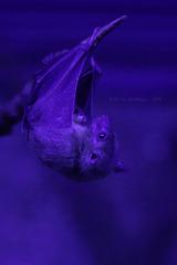 Nilflughund - Abschied vom Nachttierhaus (Wilhelma)
