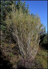 Salix purpurea  (3)