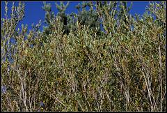 Salix purpurea  (4)