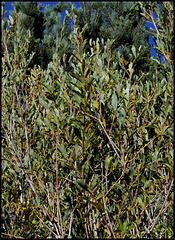 Salix purpurea  (5)
