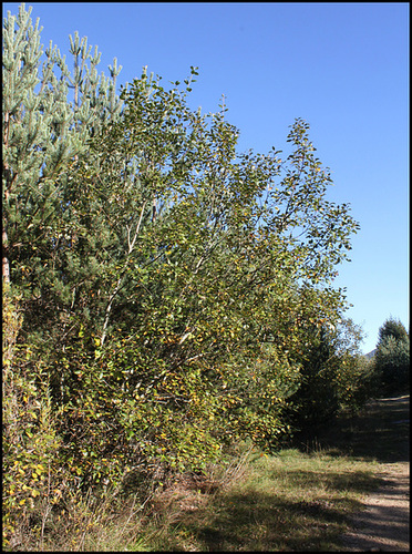 Salix caprea -Saule Marsault (2)