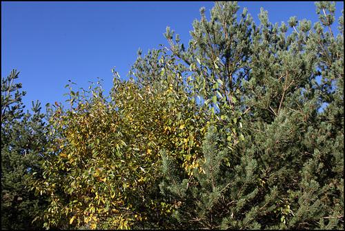 Salix caprea -Saule Marsault (3)