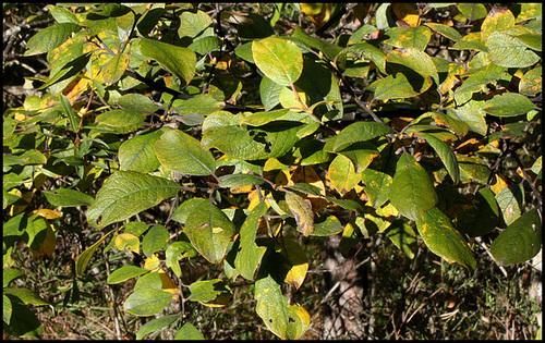 Salix caprea -Saule Marsault (6)