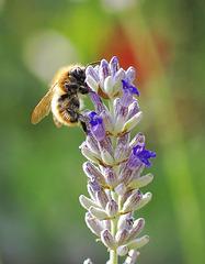 Fleißige Biene am Lavendel. ©UdoSm