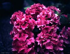 Hortensie (Hydrangea spec.)