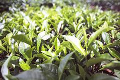 Tea shrubs