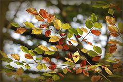Hêtre bien en automne