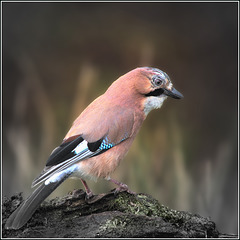 Jay, the colourful Corvid.