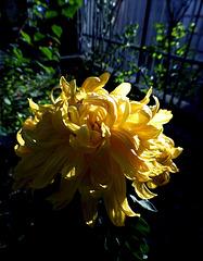 Yellow chrisants