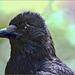 Portrait Corvus corone