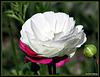Bi-Coloured Poppy.