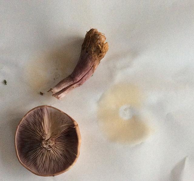 Wood Blewit? Spore print NOT pink...