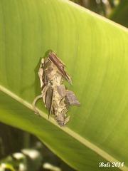 77 A Bag-worm Case On A Banana Leaf