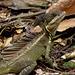 Basilic brun