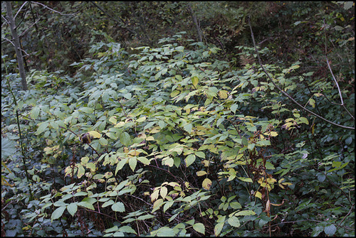 Sambucus racemosa -Sureau rouge