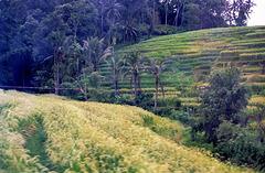 Bali.  Reisterrassen. ©UdoSm
