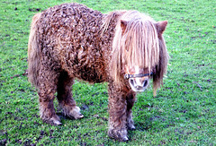 Miniature pony (2 of 2).