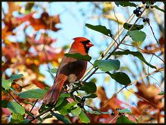 Cardinalis Virginianus (Northern Cardinal)