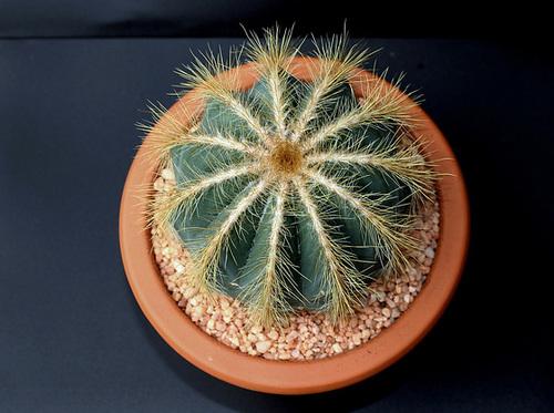 Parodia ( Notocactus ) magnifica