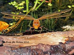 Dragonflies  085 copy
