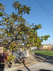 Yellowing catalpa on a hot day in October, with ventilations for a pink building.