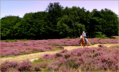 Horse riding on the Purple Heather...
