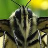 Me in a  anterior  lifetime ....!(Papilio machaon)