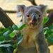 Eh bien, d'eucalyptus délicieux!