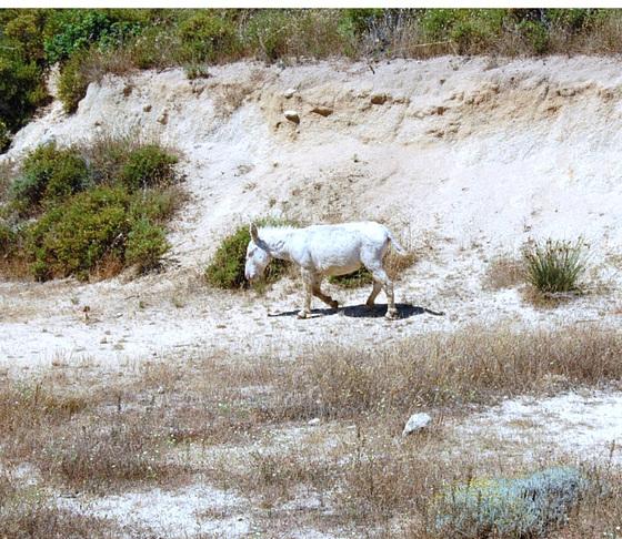Asino bianco dell'Asinara