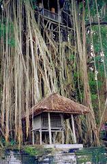 Bali, Pura Kehen, heiliger Baum. ©UdoSm