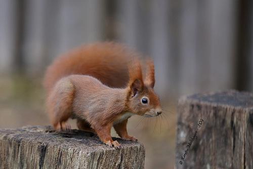 Eichhhörnchen statt Nashörnchen (Wilhelma)