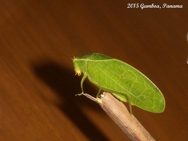 (Leaf Katydid 1) Itarissa sps.