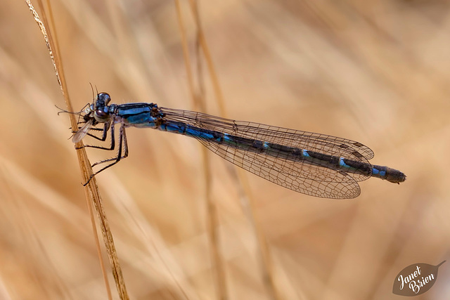21/366: Damselfly with Lunch