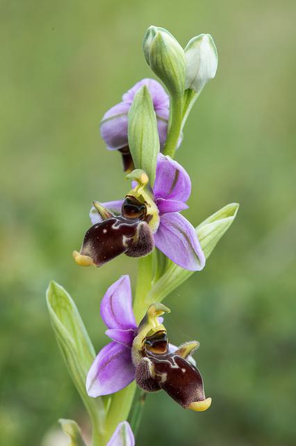 Ophrys scolopax (?) - 2015-04-20--D4 DSC0328