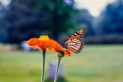 SZ62986dL · Butterfly