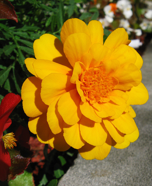 Flashy Marigold (Explored)