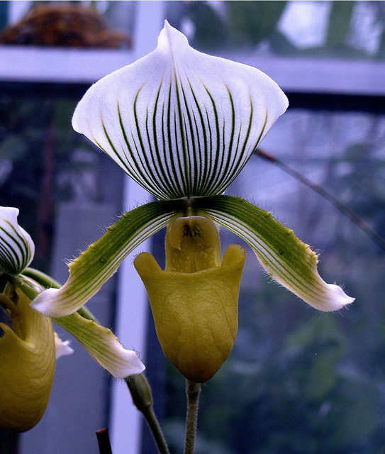 Slipper Orchid 3.