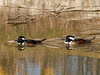 Hooded Merganser males