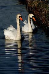 Swan couple...