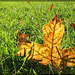 303/366: Glowing Leaf in the Grass