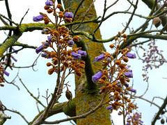 Anna paulowna boom met de eerste bloemen