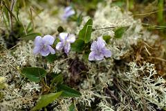 Viola canina, Tysfjóla, Iceland