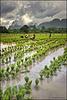 Travail en rizière (2)