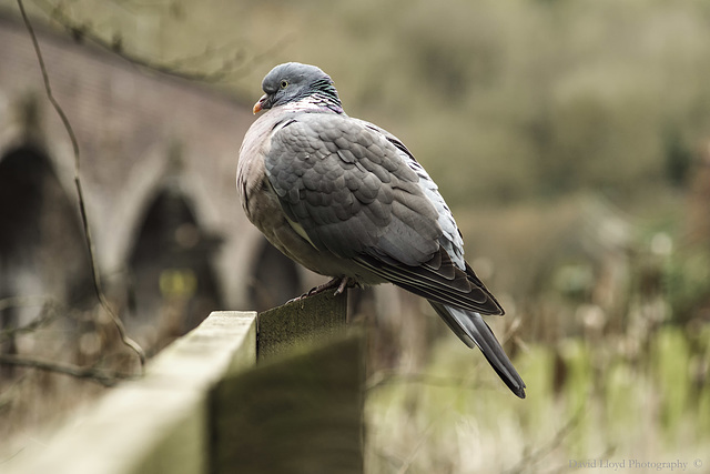 Pigeon on a post.