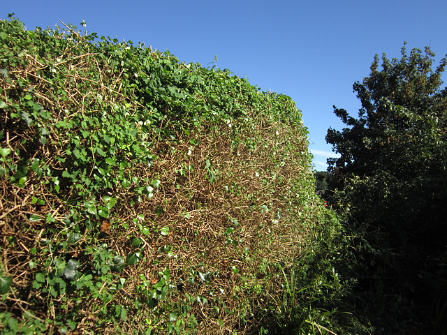 Peter had the first go at the hedge
