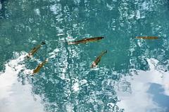 Forellen im Teich entlang der Kurpromenade in Sulden