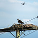Osprey pair harassed by Red-winged Blackbird