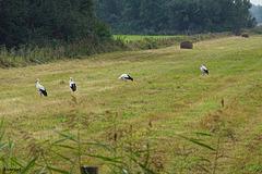 Ooievaars in een pas gemaaide wei