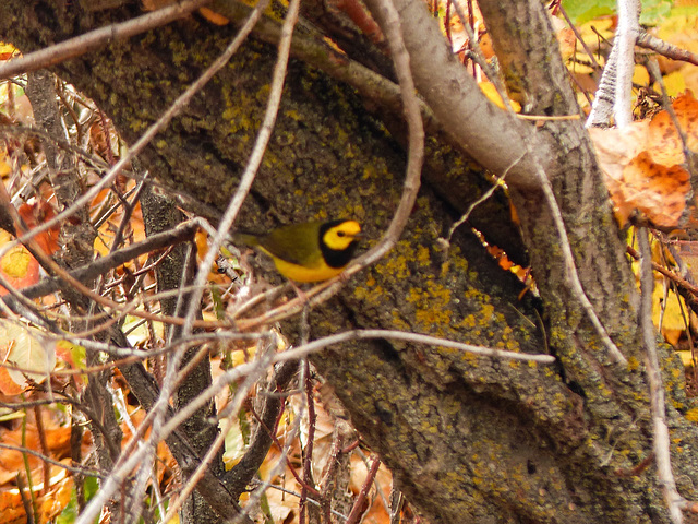 Rare Hooded Warbler / Setophaga citrina